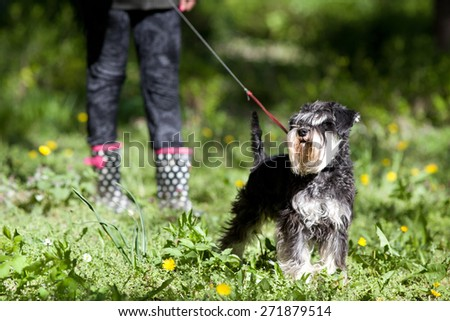 Cute miniature schnauzer on the leash posing on spring grass, girl's legs in boots in background - stock photo