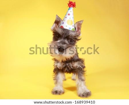 Cute Miniature Schnauzer Puppy Dog - stock photo