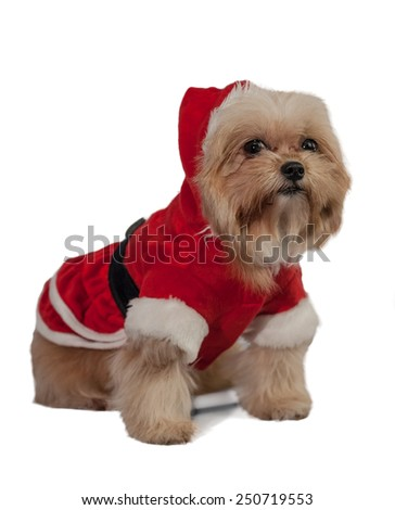 cute mixed breed dog dress in santa claus isolated in white background with clipping path