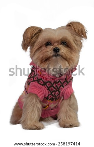 cute mixed breed dog dress in winter pink coat isolated in white background with clipping path - stock photo