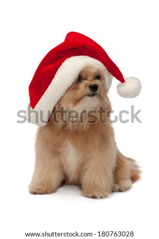 cute mixed breed dog in christmas hat isolated in white background with clipping path