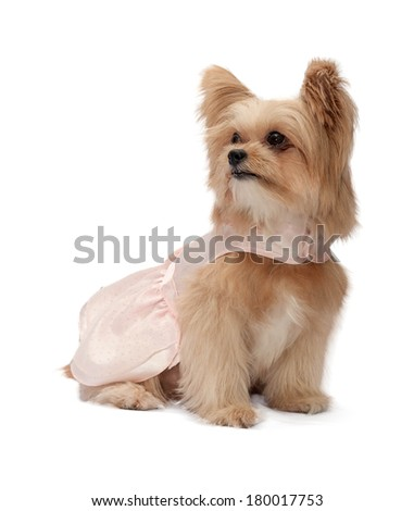 cute mixed breed dog in pink dress looking left with exciting eyes isolated in white background with clipping path
