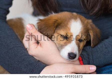 Cute mixed breed puppy is sleeping in a woman's lap.