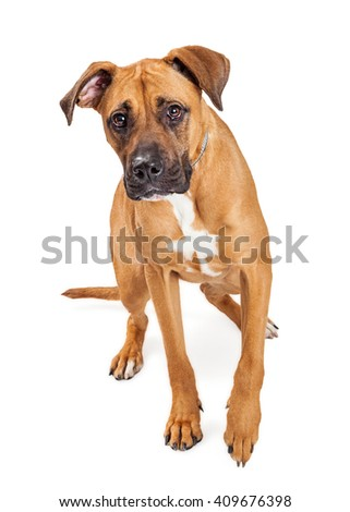 Cute mixed large breed dog walking forward on a white studio background
