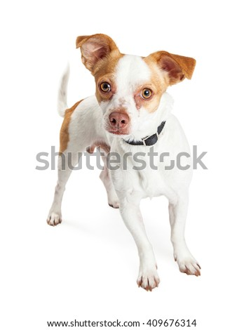 Cute mixed small breed dog standing over white background looking into camera - stock photo