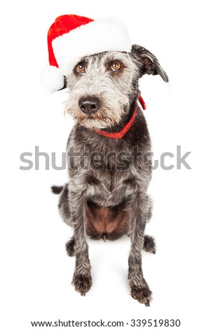 Cute mixed terrier dog wearing red collar and Christmas Santa Claus hat