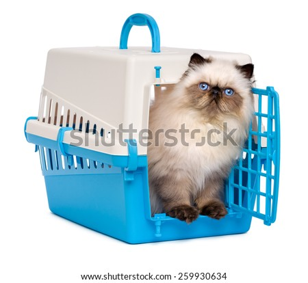 Cute 3 month old persian seal colourpoint kitten is looking out from a blue and gray pet crate, isolated on white background - stock photo
