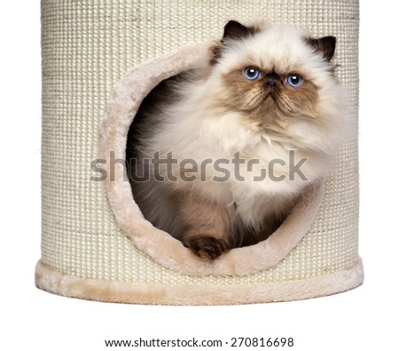 Cute 3 month old persian seal colourpoint kitten is looking out from a cat tower, isolated on white background - stock photo
