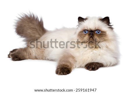 Cute 3 month old persian seal colourpoint kitten is lying, isolated on white background
