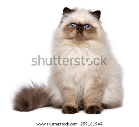 Cute 3 month old persian seal colourpoint kitten is sitting frontal, isolated on white background  - stock photo