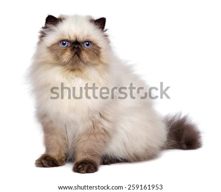 Cute 3 month old persian seal colourpoint kitten is sitting, isolated on white background