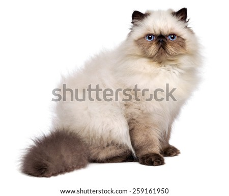 Cute 3 month old persian seal colourpoint kitten is sitting sideways and looking at cameral, isolated on white background