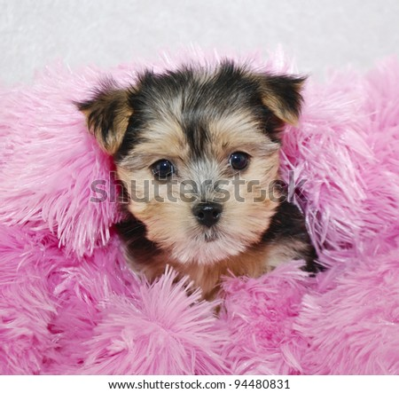 Cute Morkie puppy snuggled in a pink blanket. - stock photo
