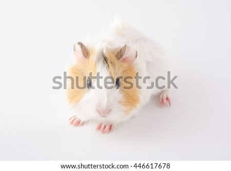 Cute newborn guinea pig baby (on a white background) - stock photo