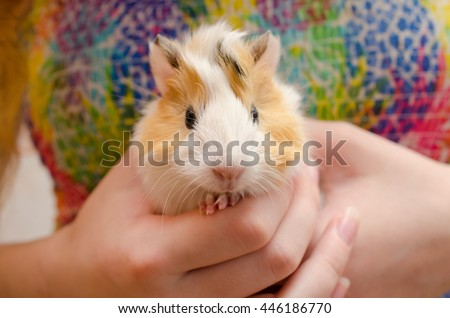 Cute newborn (one-day-old) guinea pig baby in child hands, selective focus on the guinea pig nose - stock photo