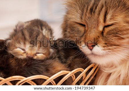 Cute newborn siberian kittens with their asleep mother on the background