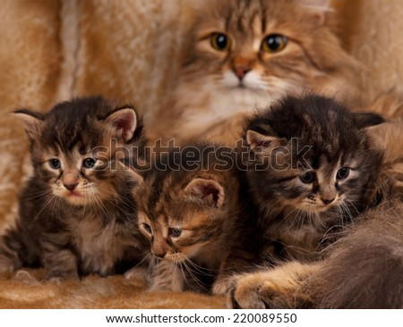 Cute newborn siberian kittens with their mother on the background. Focus on the kittens - stock photo