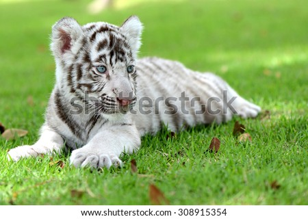Cute newborn white tiger cub on field