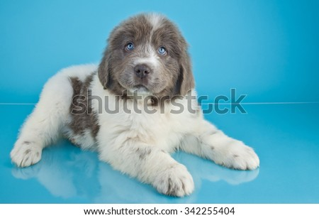 Cute Newfoundland laying on a blue background, with copy space.