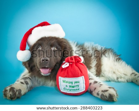 Cute Newfoundland puppy laying on a blue background, wearing a Santa hat, with copy space.