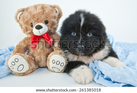 Cute Newfoundland puppy laying on a blue blanket with a teddy bear on a white background. - stock photo