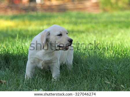 cute nice little yellow labrador puppy in green grass in summer