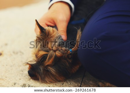 cute nice  Yorkshire terrier lying near the owner - stock photo