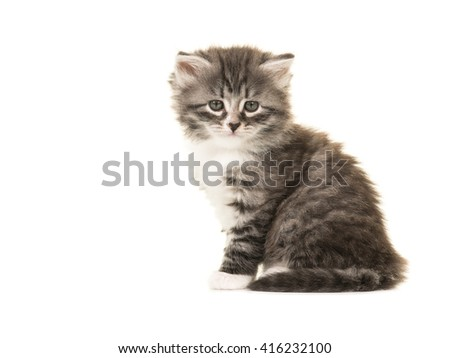 Cute Norwegian Forest baby cat sitting facing the camera isolated on a white background