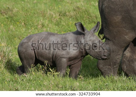 Cute one week old baby Rhino standing behind it's mother - stock photo