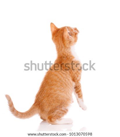 Cute orange kitten looking up. Cat on a white background.