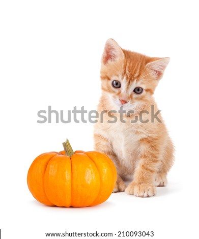 Cute orange kitten with a mini pumpkin isolated on a white background.