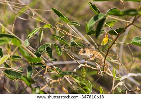 Cute Orange Oustalet's curious Chameleon in Isalo National Park, Madagascar, Africa - stock photo