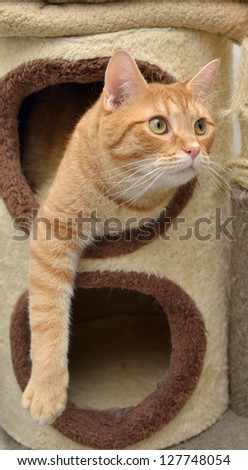 Cute orange tabby cat hanging out of a cat habitat (carpeted furniture) looking up playfully - stock photo