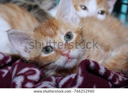 CUTE ORANGE TABBY KITTEN