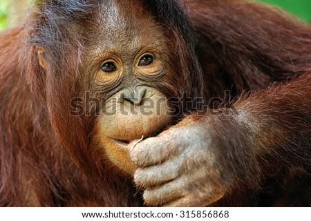Cute Orangutan. - stock photo