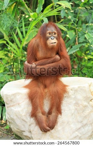 Cute Orangutan sitting on the rock and cross one's arm - stock photo