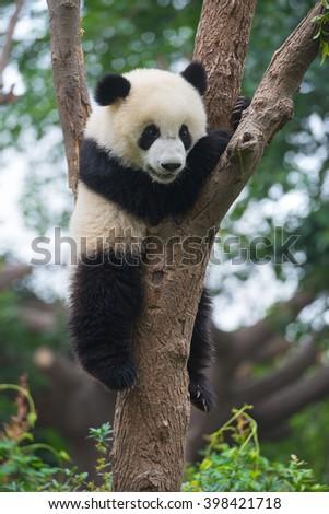 Cute panda bear climbing in tree - stock photo