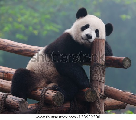 Cute panda bear posing for camera - stock photo