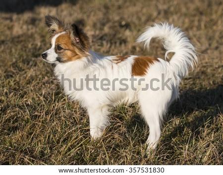 cute papillon dog - stock photo