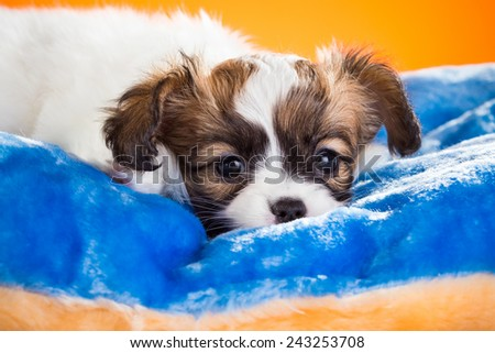 Cute Papillon puppy age of one and a half months  lying on pillow on a orange background - stock photo