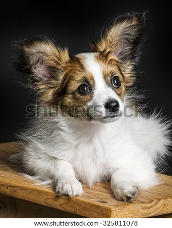 cute papillon puppy close up