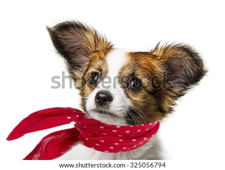 cute papillon puppy isolated over white - stock photo