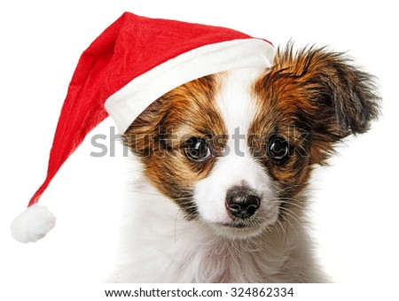 cute papillon puppy with red santa cap - stock photo