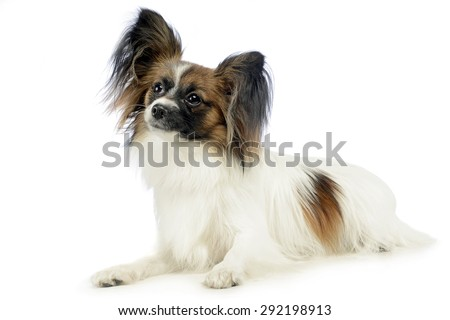 cute papillon relaxing in white photo studio