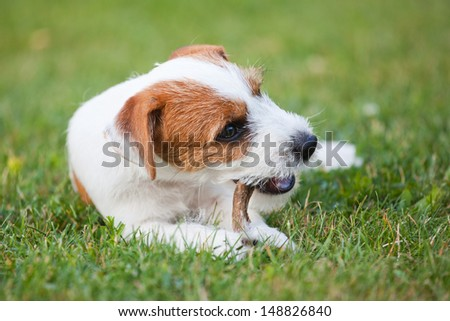 cute Parson Russell Terrier puppy lies on the grass and chews at dried rumen - stock photo