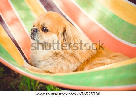 Cute Pekingese Dog relaxing on the warm sunny day in hammock. Red light pekingese in summer garden. Pekingese dog resting in nature