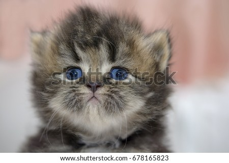 Cute Persian cat kitten on the bed