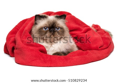 Cute persian colourpoint cat is lying covered with a red blanket - towel, isolated on white background