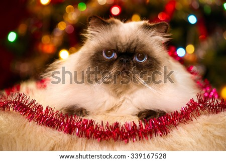Cute persian colourpoint cat is lying in front of a Christmas tree with colourful lights bokeh