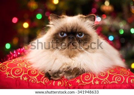 Cute persian colourpoint cat is lying on a red cushion in front of a Christmas tree with colourful lights bokeh
